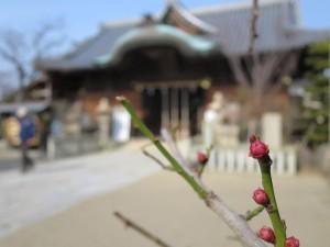 柿本神社の八房梅